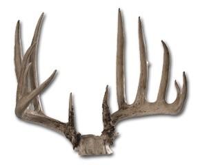 Whitetail-antlers