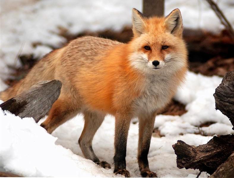 fox_gl